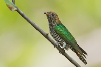 Asian Emerald Cuckoo (female) at Suan Luang, Bangkok. Photo credit: Nicholas Tan