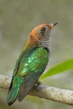 Asian Emerald Cuckoo (female) at Suan Luang, Bangkok. Photo credit: Nicholas Tan