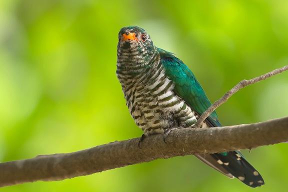 Asian Emerald Cuckoo (subadult male) at Suan Luang, Bangkok. Photo credit: Nicholas Tan