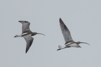 Eurasian Curlews at Sungei Buloh Wetland Reserve. Photo Credits: Adrian Silas Tay.
