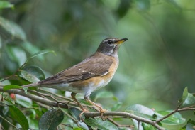 Eyebrowed Thrush at Dairy Farm Nature Park. Photo credit: Francis Yap