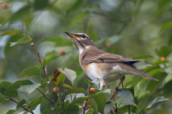 Eyebrowed Thrush at Bukit Timah summit. Photo credit: Francis Yap