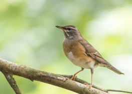 Eyebrowed Thrush at Dairy Farm Nature Park. Photo credit: See Toh Yew Wai