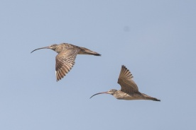 Far Eastern Curlew at Bali. Photo Credit: Francis Yap