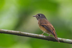 Ferruginous Flycatcher at Venus Drive. Photo Credit: Francis Yap