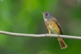 Ferruginous Flycatcher at Bidadari. Photo Credit: Francis Yap