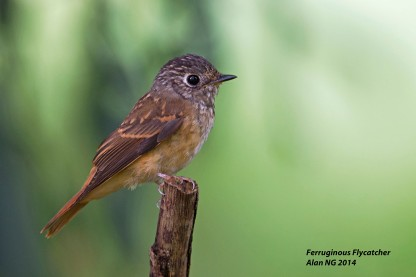 Juvenile Ferruginous Flycatcher at Bidadari. Photo Credit: Alan Ng
