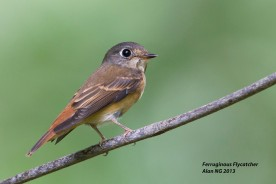 Ferruginous Flycatcher at Bidadari. Photo Credit: Alan Ng