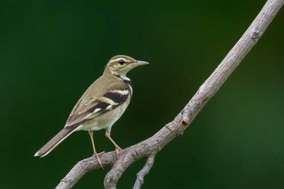 Forest Wagtail at Bidadari. Photo Credit: Francis Yap