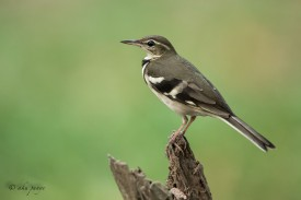 Forest Wagtail. Photo Credit: Zahidi Hamid