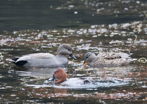 Gadwalls (pair) at Tokyo Imperial Garden. Photo credit: See Toh Yew Wai