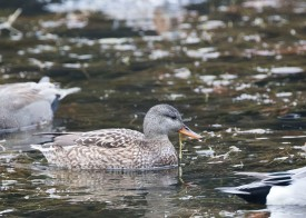 Gadwall (female) at Tokyo Imperial Garden. Photo credit: See Toh Yew Wai