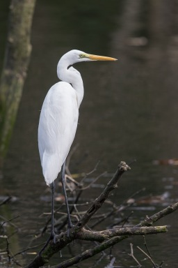 Great Egret at SBWR. Photo Credit: Francis Yap