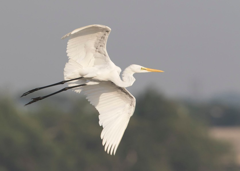 Great Egret at SBWR. Photo Credit: See Toh Yew Wai