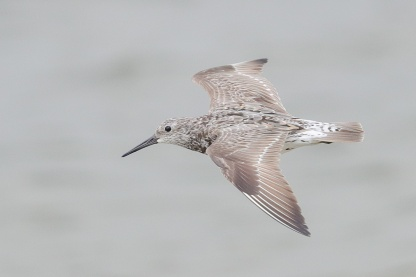 Great Knot at Seletar Dam. Photo credit: Francis Yap