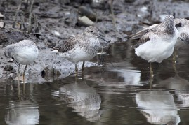 Great Knot at SBWR. Photo Credit: Chris Li