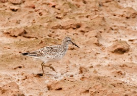 Great Knot at Pulau Tekong. Photo Credit: Frankie Cheong