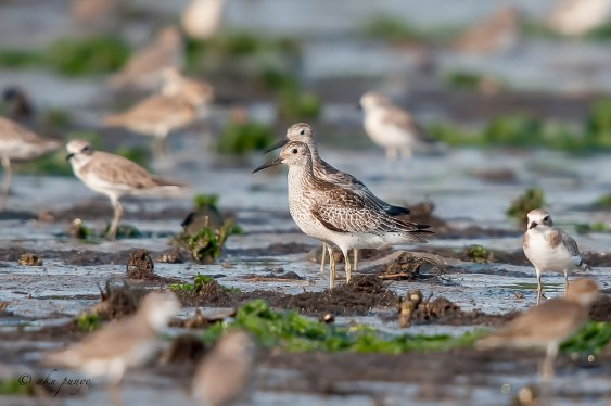 Great Knot at Seletar Dam. Photo Credit: Zahidi Hamid
