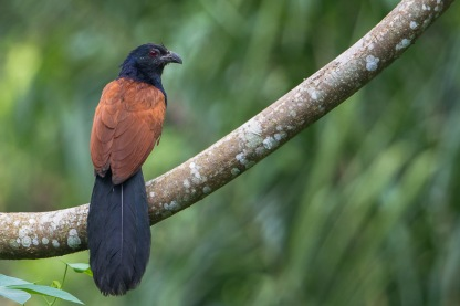 Greater Coucal at Venus Drive. Photo Credit: Francis Yap