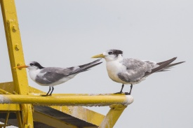 Greater Crested Tern (right) and Lesser Crested Tern (left) at a buoy in Singapore Strait. Photo Credit: Francis Yap
