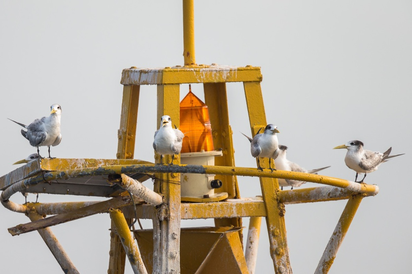 Greater Crested Terns at Singapore Strait. Photo Credit: Francis Yap