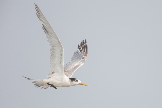 Non-breeding Greater Crested Tern at Singapore Strait. Photo Credit: Francis Yap