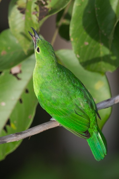 Female Greater Green Leafbird at Jelutong Tower. Photo Credit: Francis Yap