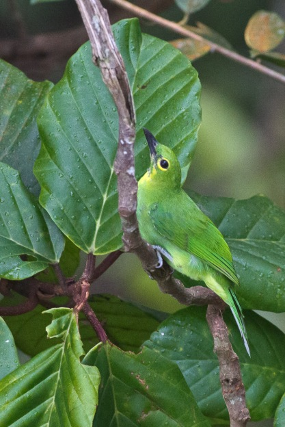 Greater Green Leafbird at Jelutong Tower. Photo Credit: Francis Yap