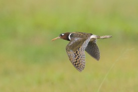 Female Greater Painted-snipe at Jurong West Street 42. Photo Credit: Francis Yap