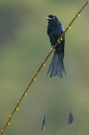 Greater Racket-tailed Drongo at Jelutong Tower. Photo Credit: Francis Yap