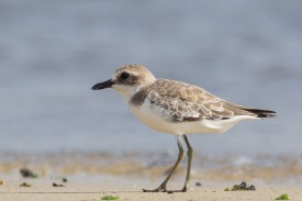 Greater Sand Plover at Seletar Dam. Photo Credit: Francis Yap