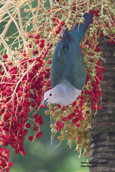 Green Imperial Pigeon at Loyang Way. Photo credit: Alan Ng