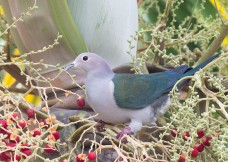 Green Imperial Pigeon at Changi South. Photo credit: See Toh Yew Wai