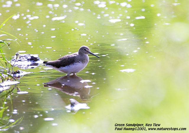 Green Sandpiper at Neo Tiew. Photo Credit: Paul Huang.