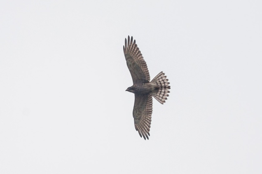Grey-faced Buzzard at Tanah Merah. Photo Credit: Francis Yap
