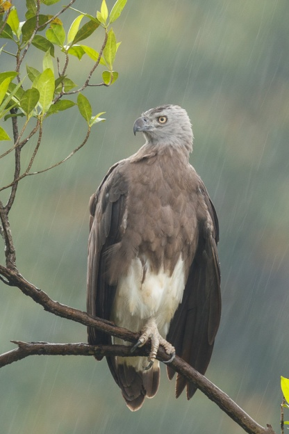 Adult Grey-headed Fish Eagle at MacRitchie Reservoir. Photo credit: Francis Yap