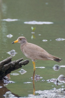 Juvenile Grey-headed Lapwing at SBWR. Photo Credit: Francis Yap