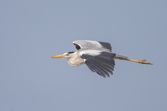 Grey Heron at Lorong Halus. Photo Credit: Francis Yap