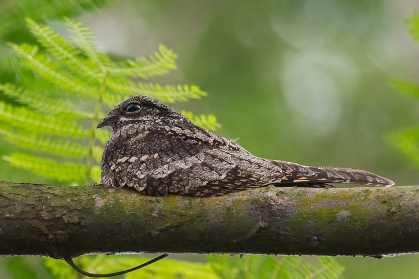Grey Nightjar at Bidadari. Photo Credit: Francis Yap