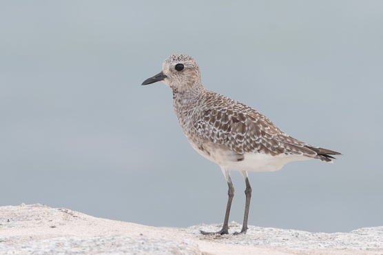 Grey Plover at Marina Barrage. Photo credit: Francis Yap