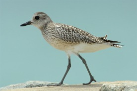 Grey Plover at Changi. Photo credit: Con Foley