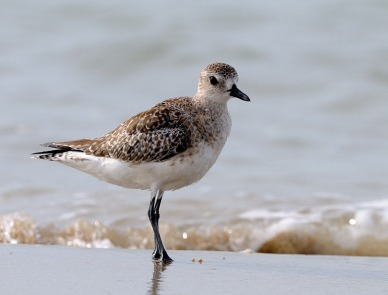 Grey Plover at Pulau Tekong. Photo credit: Frankie Cheong