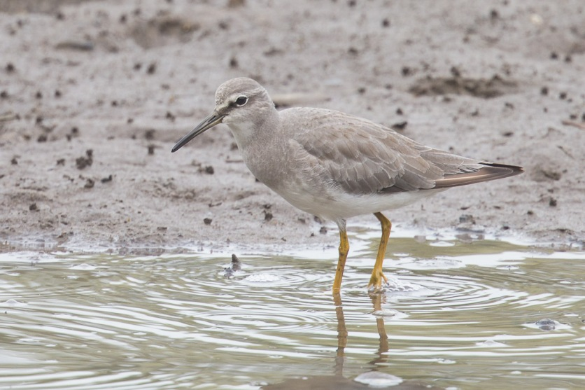 Grey-tailed Tattler at SBWR. Photo Credit: Francis Yap