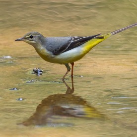 Non-breeding Grey Wagtail at Rifle Range Link. Side profile. Photo credit: Francis Yap