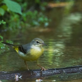 Non-breeding Grey Wagtail at Rifle Range Link. Photo credit: Francis Yap