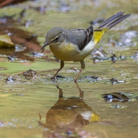 Non-breeding Grey Wagtail at Rifle Range Link with a recently caught insect. Photo credit: Francis Yap