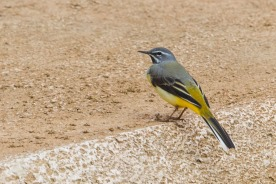 A wintering male Grey Wagtail at Bukit Batok West in February 2012, with the diagnostic black throat area. Photo credit: Francis Yap