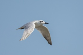 Gull-billed Tern at Bali. Photo Credit: Francis Yap