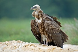 Juvenile Himalayan Vulture at Changi Cove. Photo Credit: Eric Tan