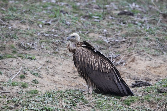 Juvenile Himalayan Vulture at Bhutan. Photo Credit: Myron Tay